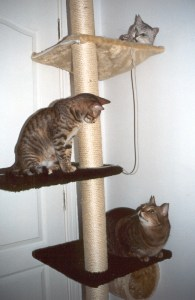 Cats can easily be trained to scratch in appropriate places, such as this cat tree. Photo: Susan Nilson