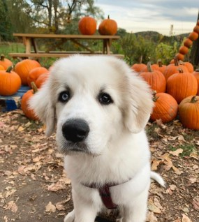 Great Pyrenees in a pumpkin patch