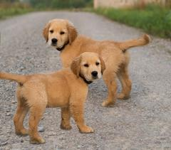 Two Identical Golden Retrievers On Dirt Path